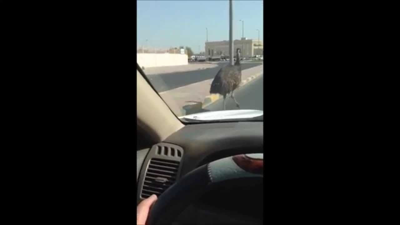 Ostrich roaming on Kuwait roads - Dauer: 48 Sekunden