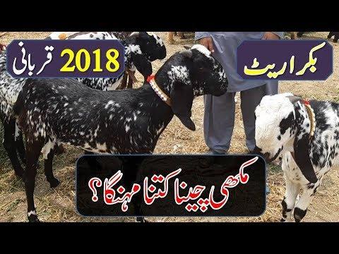 Pakistani Makhi Cheena Goat for Sale in Bakra Mandi for Qurbani Eid (2018)