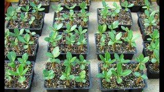 видео Выращивание адениумов из семян. Часть первая