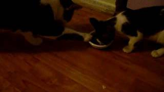 Cat pulling food plate away from other cat