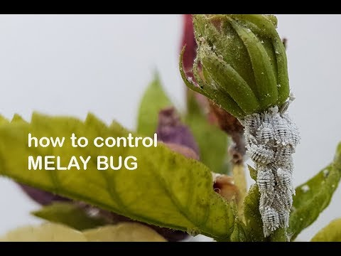 Easy Tips To Control Melay Bug Disease From Hibiscus Plantआसन