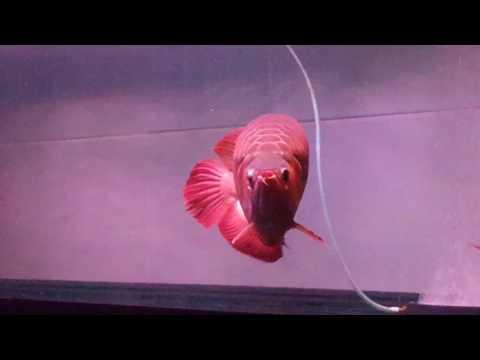 ปลามังกรแดงตัวใหญ่
