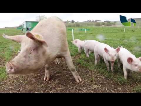 Økologiske grise på friland