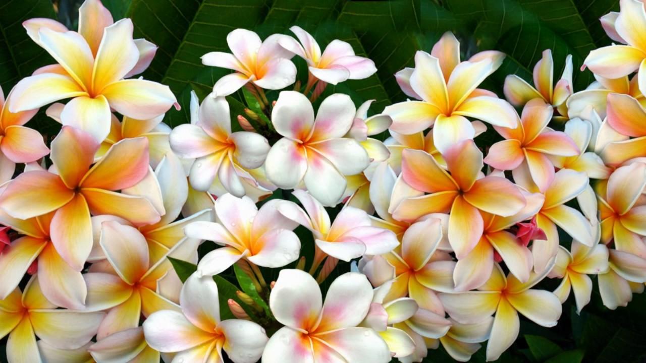 Frangipani flowers youtube frangipani flowers izmirmasajfo