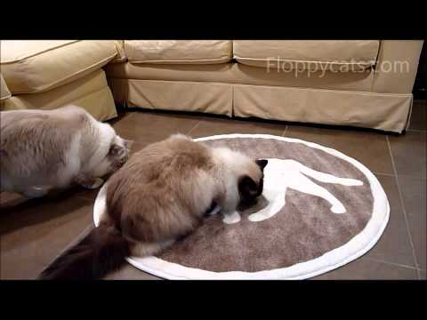 Ragdoll Cats Review Cat Pet Rug - ねこ - ラグドール -- Floppycats