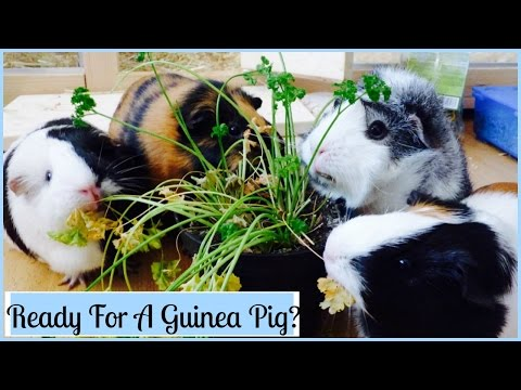 13 Things You Need to Know before You Get Guinea Pigs