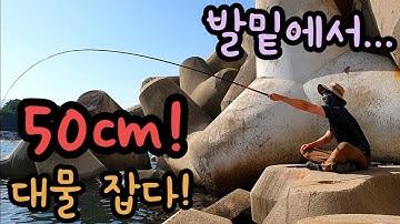 내항 발밑에서 50cm 대물 낚다!! 바다낚시 낚시동영상 힐링영상 fishing