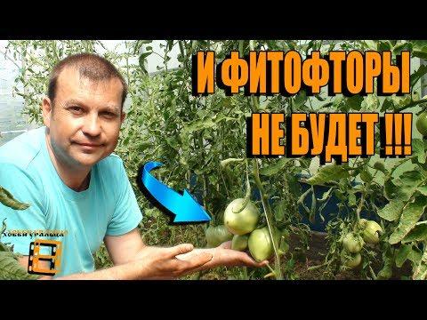 Как избавиться от фитофторы в теплице с помидорами