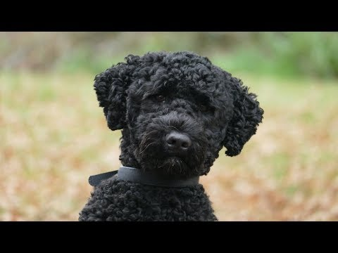 Nemo  Portuguese Water Dog  4 Weeks Residential Dog Training