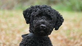 Nemo  Portuguese Water Dog  4 Weeks Residential Dog Training