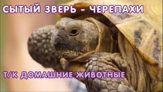 Правильных уход за сухопутными и водными черепахами - т/к Домашние животные, 2016 г