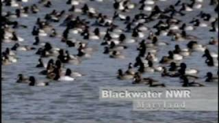 Blackwater National Wildlife Refuge - Go Wild!