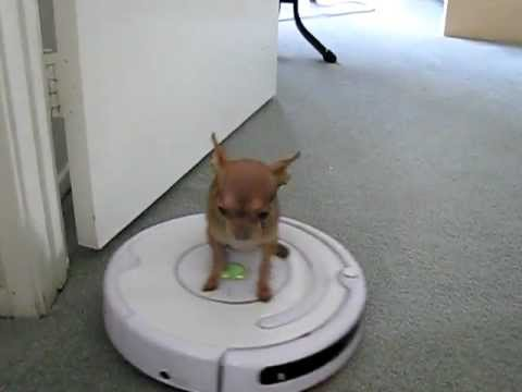 Micro Chihuahua Driving A Vacuum My Little Housekeeper
