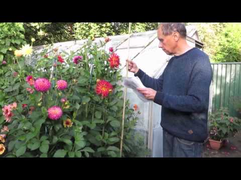 How Geoff and Heather grow dahlias
