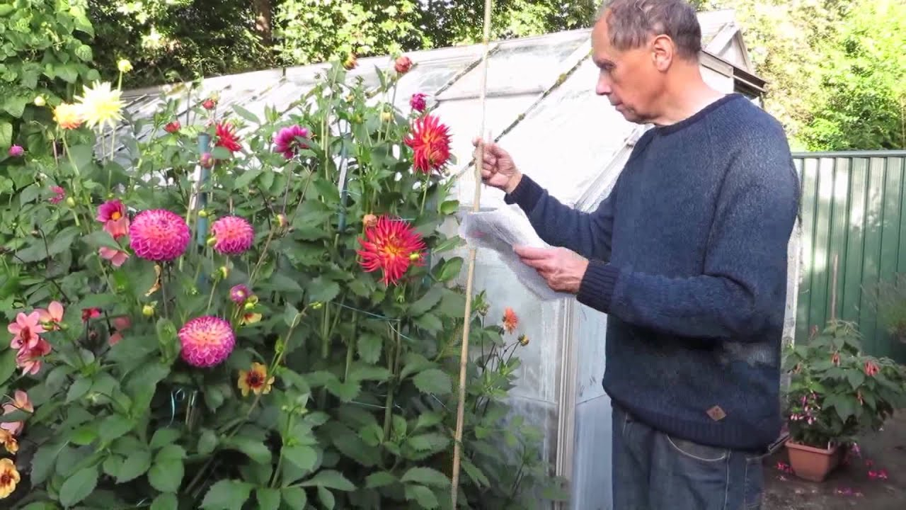 How Geoff And Heather Grow Dahlias Youtube