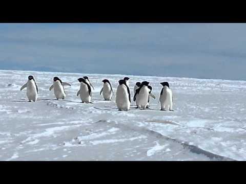 Adélie Penguins Surveying Sea Ice Crack