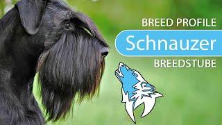 Schnauzer Breed, Temperament & Training