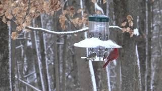 Cardinals Feeding At Feeder
