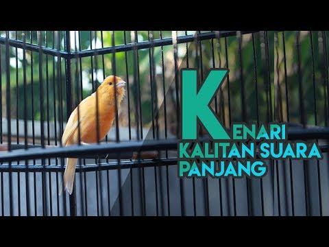 Download Lagu Kenari Kalitan Gacor Suara Panjang |HD| Cocok Untuk Masteran