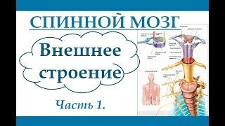 Спинной мозг. Внешнее строение. (Ч.1) Анатомия и физиология человека.