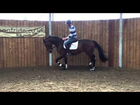 16.2hh,3 yr old ISH gelding by Hold Up Premiere,just broken.
