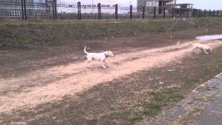 Dogo argentino pigeon hunt