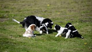 Cavalier King Charles Spaniels With Mother Being Cute!