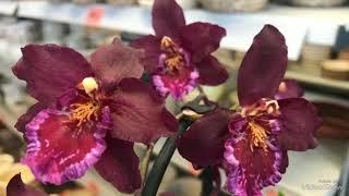 Уценённые Орхидеи и другие цветы в Оби.