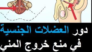 دور العضلات الجنسية في منع خروج السائل المنوي l طول الجماع l تعدد الرعشاتl علاج القذف السريع