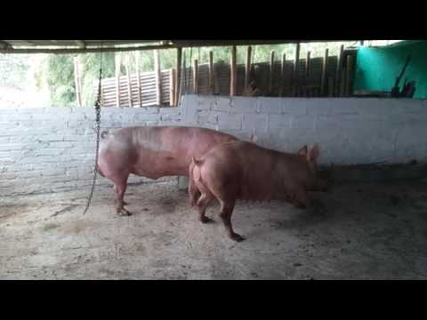 Monta directa porcina(2)
