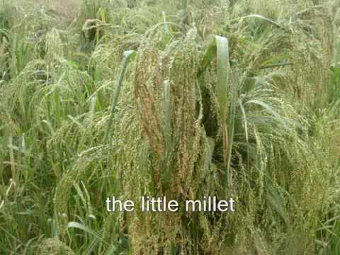 India-Forgotten foodgrain-Little millet- samey