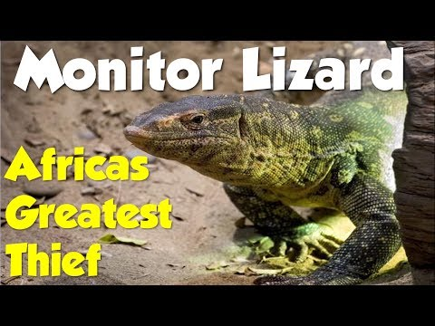 BBC Wildlife - Monitor Lizard - Africas Greatest Thief