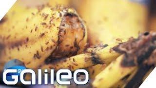 Wie man Fruchtfliegen los wird | Galileo | ProSieben