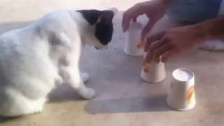 Супер кот напёрсточник!