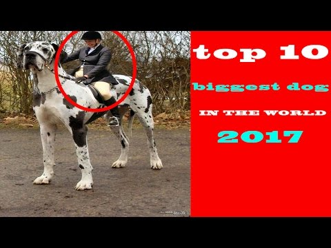 top 10 biggest dog breeds in the world 2017