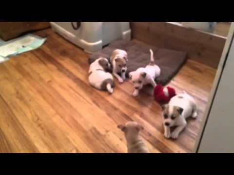 Collie Shepherd Pit Mix Pups Youtube
