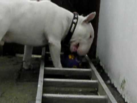 Clyde Devon\'s Cheekiest Bull Terrier with his toys - YouTube