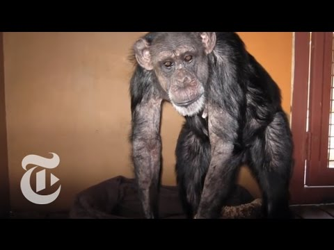 Chimpanzees Retired From Research   The New York Times