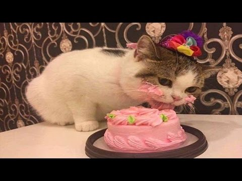 Cats Birthday Party Compilation | Sweet Cats Love Meatcake