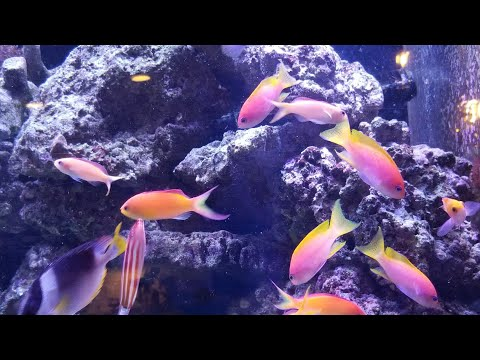 New Anthias, New Fish Furniture, And A Naso Tang?!?