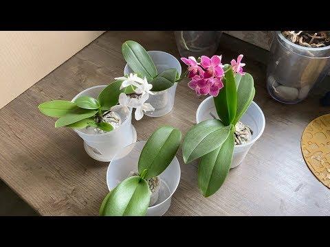 КОРНИ ОРХИДЕИ после ТОПАЗА и орхидеи из Азии готовы к пересадке!