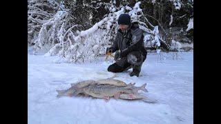 Вот за этими кабанчиками и ездим на эту красивую реку.зимняя рыбалка на Ямале.