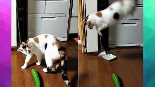 CAT vs CUCUMBER COMPILATION 2020 | Cats Scared Of Cucumbers | Funny Cat Videos | Scaredy Cats