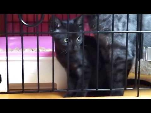 エジプシャンマウ Egyptian Mau Kittens (Female/Smoke) born Apr.14.2015.11wks