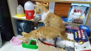 kardeş sevimli yavru kedilerin ilginç anları ve oyunları (kittens cats) looking three small kittens