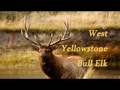 West Yellowstone Elk