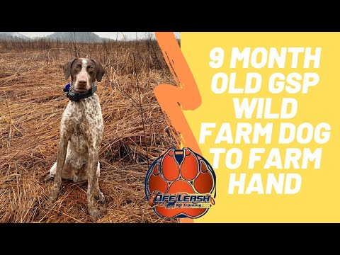 Asheville Dog Trainers – 9 Month Old German Shorthaired Pointer Wild Farm Dog To Farm Hand