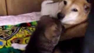 都多加良荘で2006年1月に生まれた仔犬。 http://www.geocities.jp/miyak...