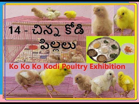 14 - చిన్న కోడి పిల్లలు - Ko Ko Ko Kodi Poultry Exhibition Which Feed Need | Natu Kolla Pempakam