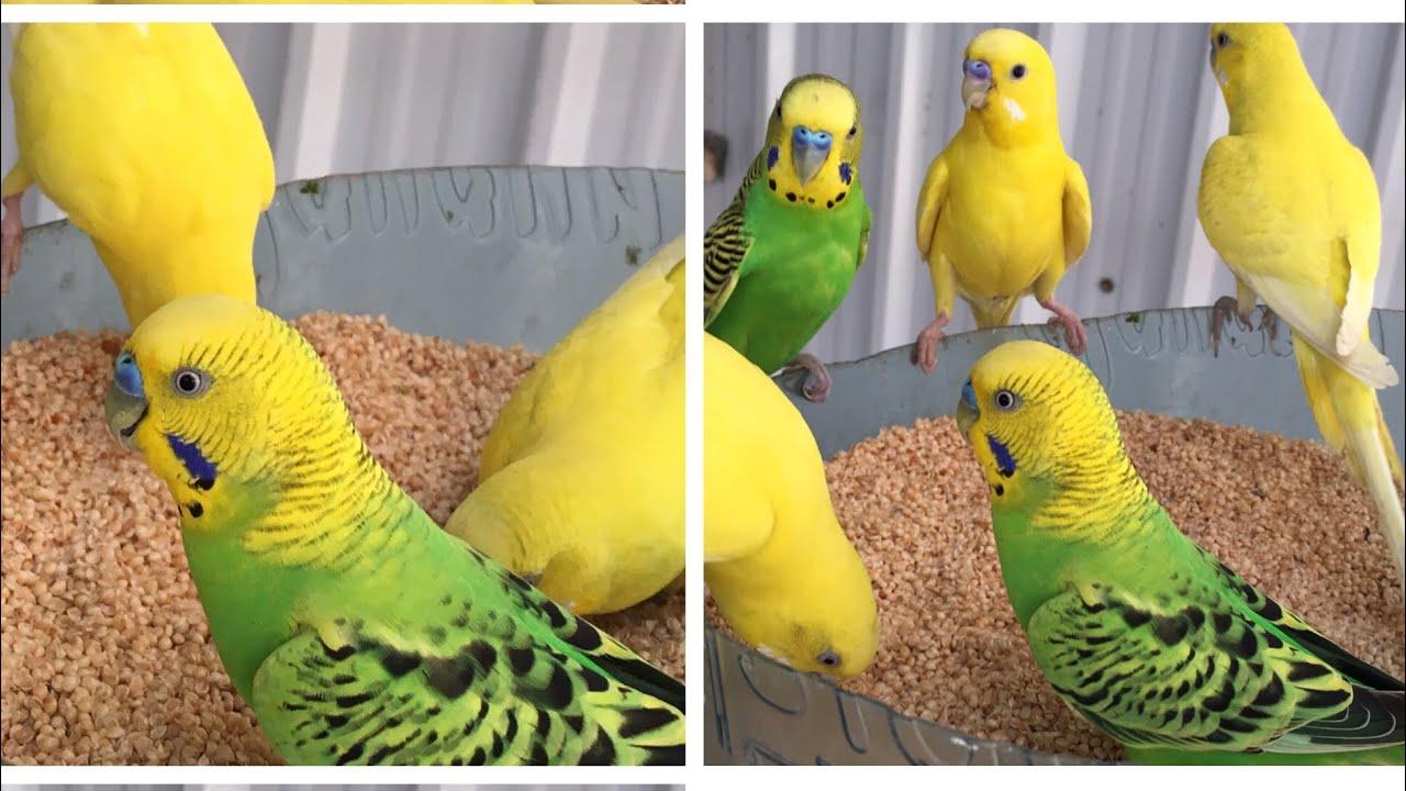 طيور البادجي Youtube Animals Bird Parrot
